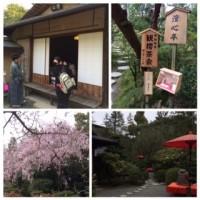 観桜茶会2015年